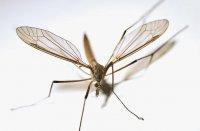 Як відлякати комарів не шкідливими речовинами